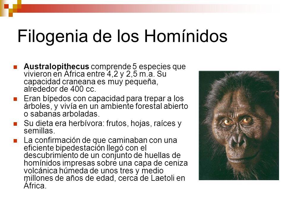 Filogenia de los Homínidos Australopithecus comprende 5 especies que vivieron en África entre 4,2 y 2,5 m.a. Su capacidad craneana es muy pequeña, alr