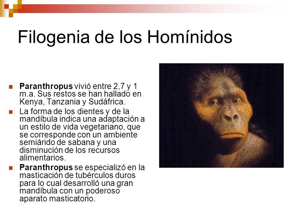 Filogenia de los Homínidos Paranthropus vivió entre 2,7 y 1 m.a. Sus restos se han hallado en Kenya, Tanzania y Sudáfrica. La forma de los dientes y d