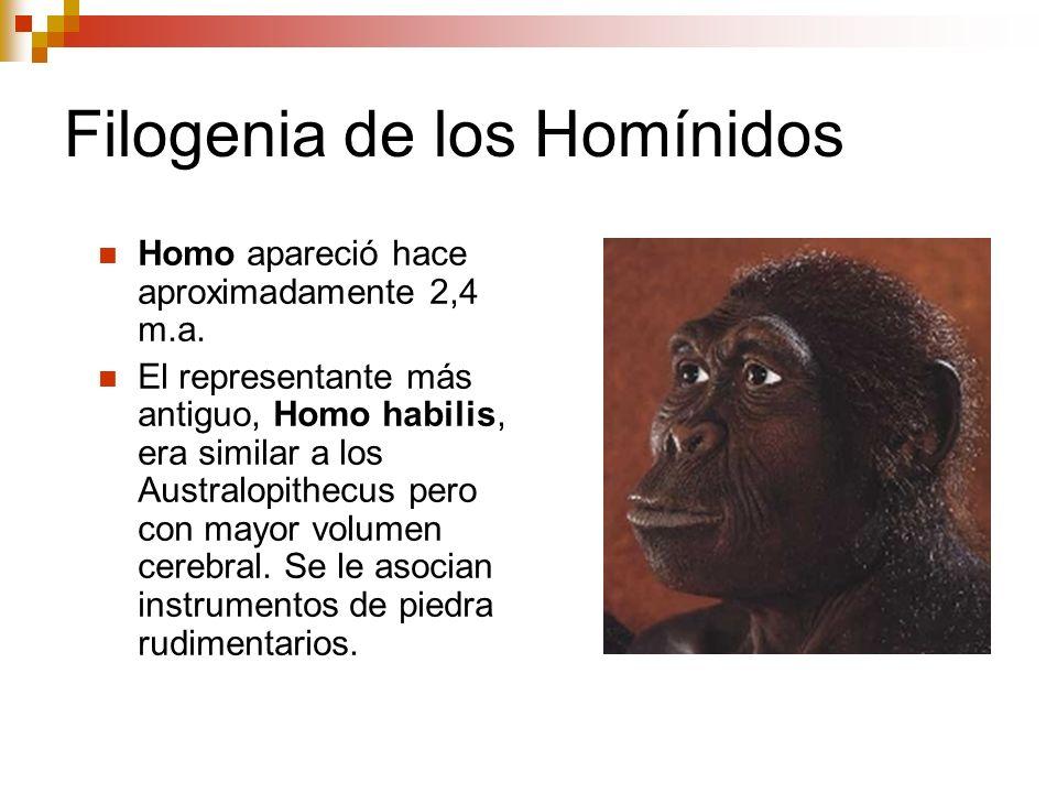 Filogenia de los Homínidos Homo apareció hace aproximadamente 2,4 m.a. El representante más antiguo, Homo habilis, era similar a los Australopithecus