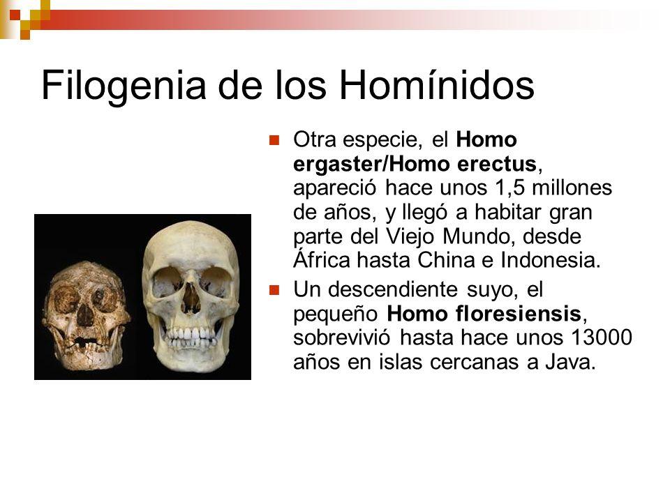 Filogenia de los Homínidos Otra especie, el Homo ergaster/Homo erectus, apareció hace unos 1,5 millones de años, y llegó a habitar gran parte del Viej