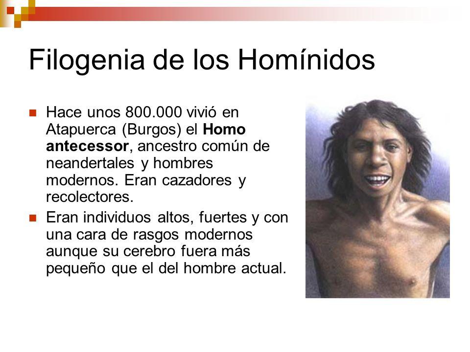 Filogenia de los Homínidos Hace unos 800.000 vivió en Atapuerca (Burgos) el Homo antecessor, ancestro común de neandertales y hombres modernos. Eran c