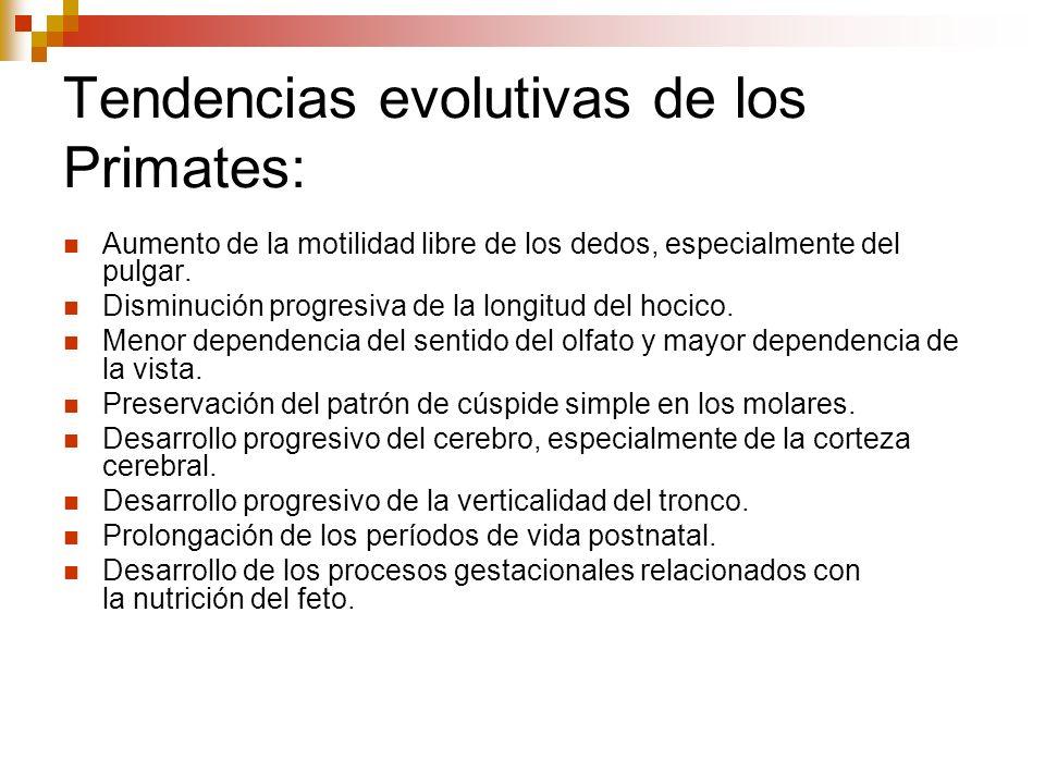 Tendencias evolutivas de los Primates: Aumento de la motilidad libre de los dedos, especialmente del pulgar. Disminución progresiva de la longitud del