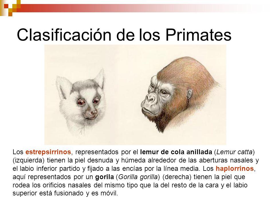 Clasificación de los Primates Los estrepsirrinos, representados por el lemur de cola anillada (Lemur catta) (izquierda) tienen la piel desnuda y húmed
