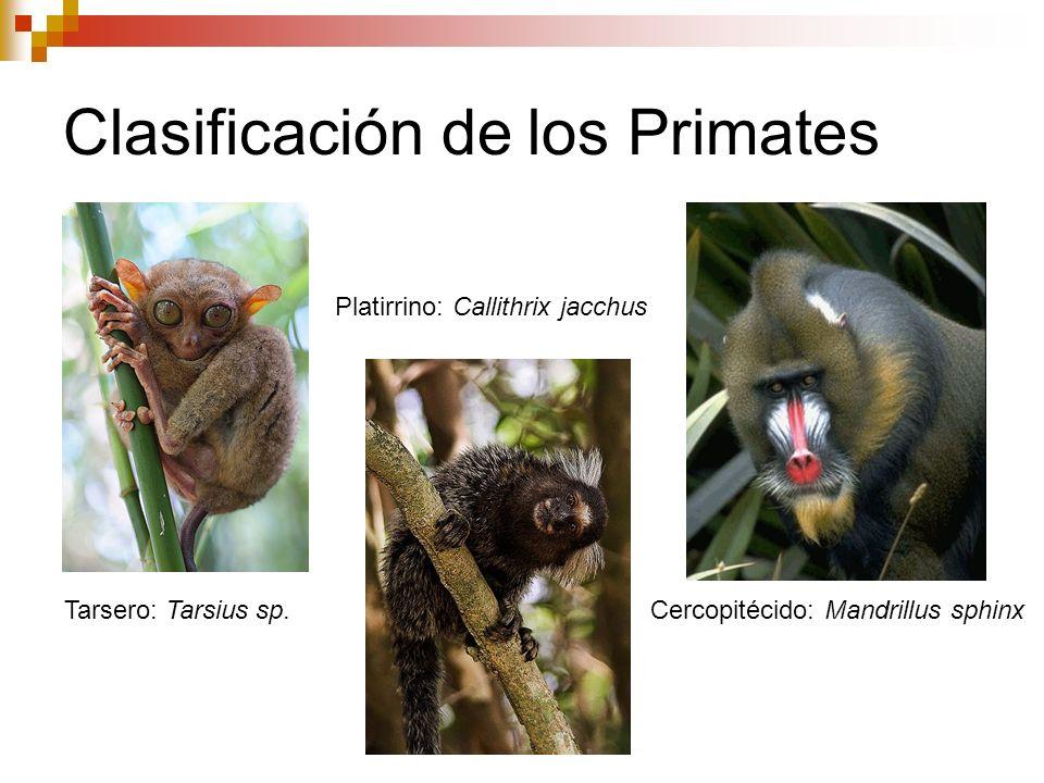 Tarsero: Tarsius sp. Platirrino: Callithrix jacchus Cercopitécido: Mandrillus sphinx