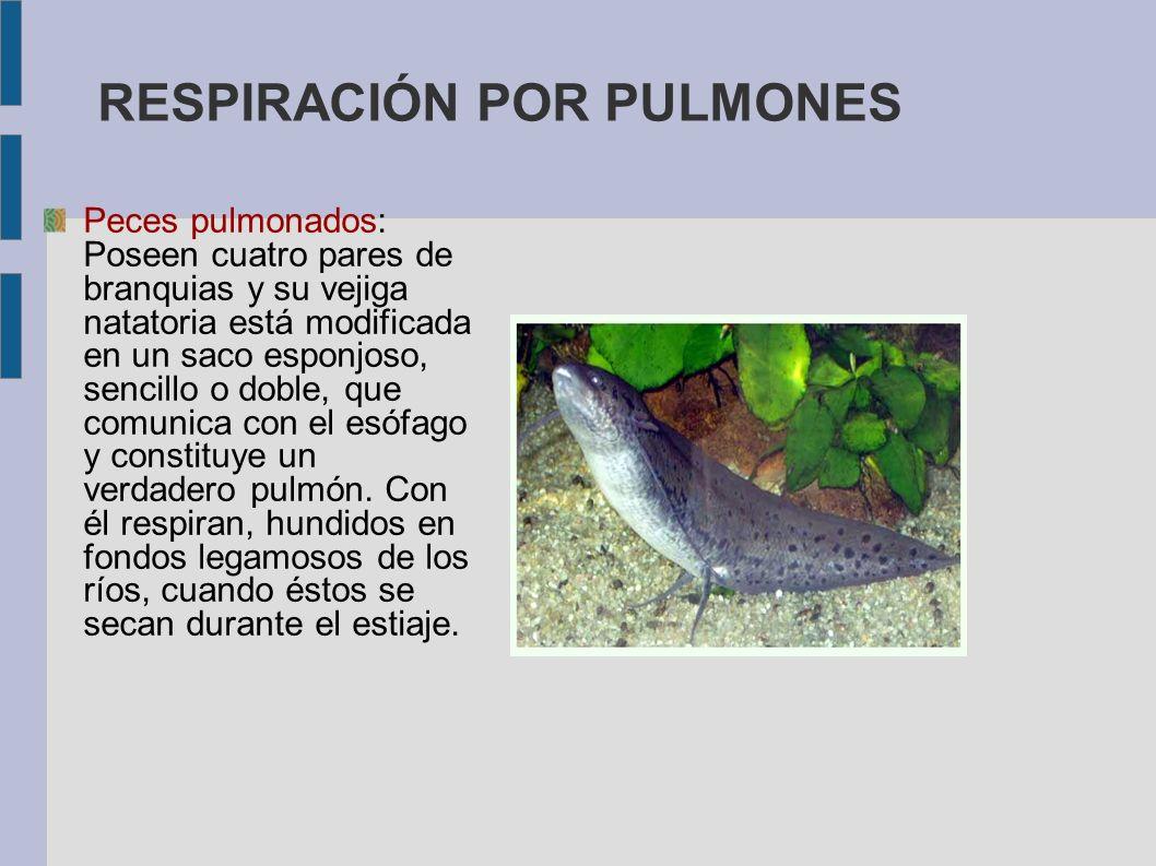 RESPIRACIÓN POR PULMONES Peces pulmonados: Poseen cuatro pares de branquias y su vejiga natatoria está modificada en un saco esponjoso, sencillo o dob