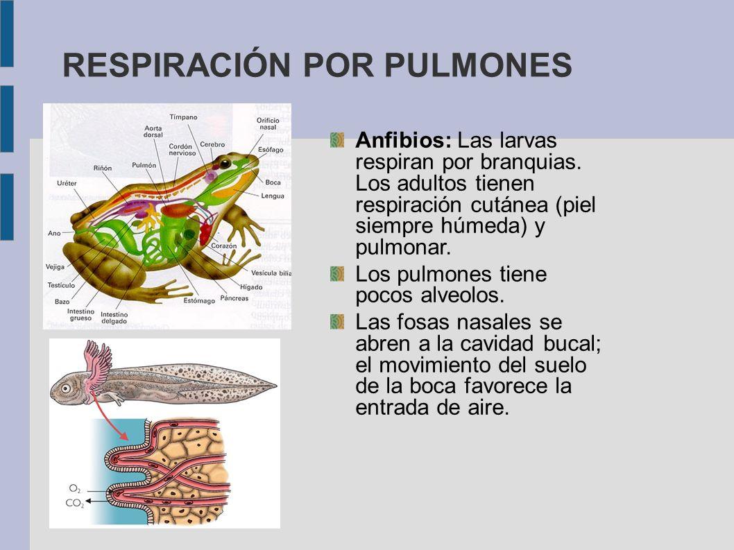 RESPIRACIÓN POR PULMONES Anfibios: Las larvas respiran por branquias. Los adultos tienen respiración cutánea (piel siempre húmeda) y pulmonar. Los pul