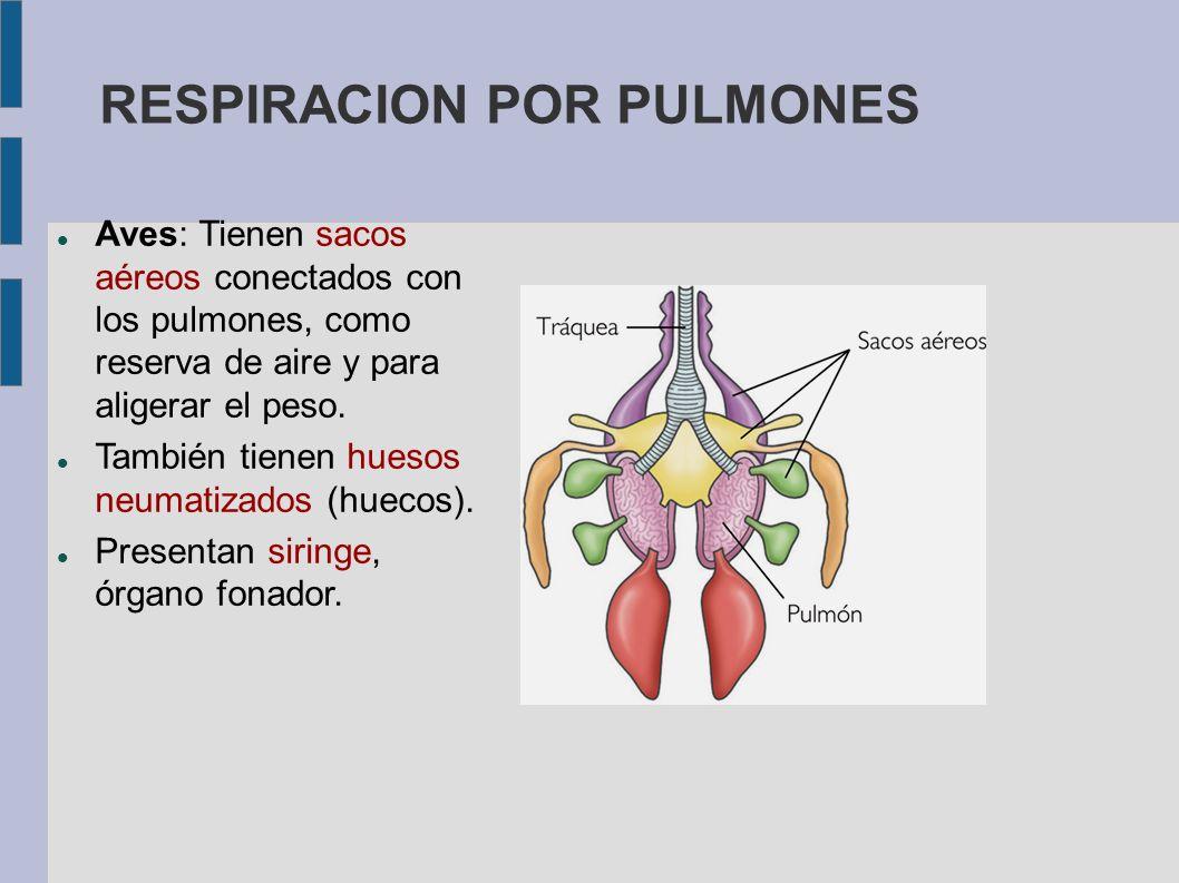 RESPIRACION POR PULMONES Aves: Tienen sacos aéreos conectados con los pulmones, como reserva de aire y para aligerar el peso. También tienen huesos ne