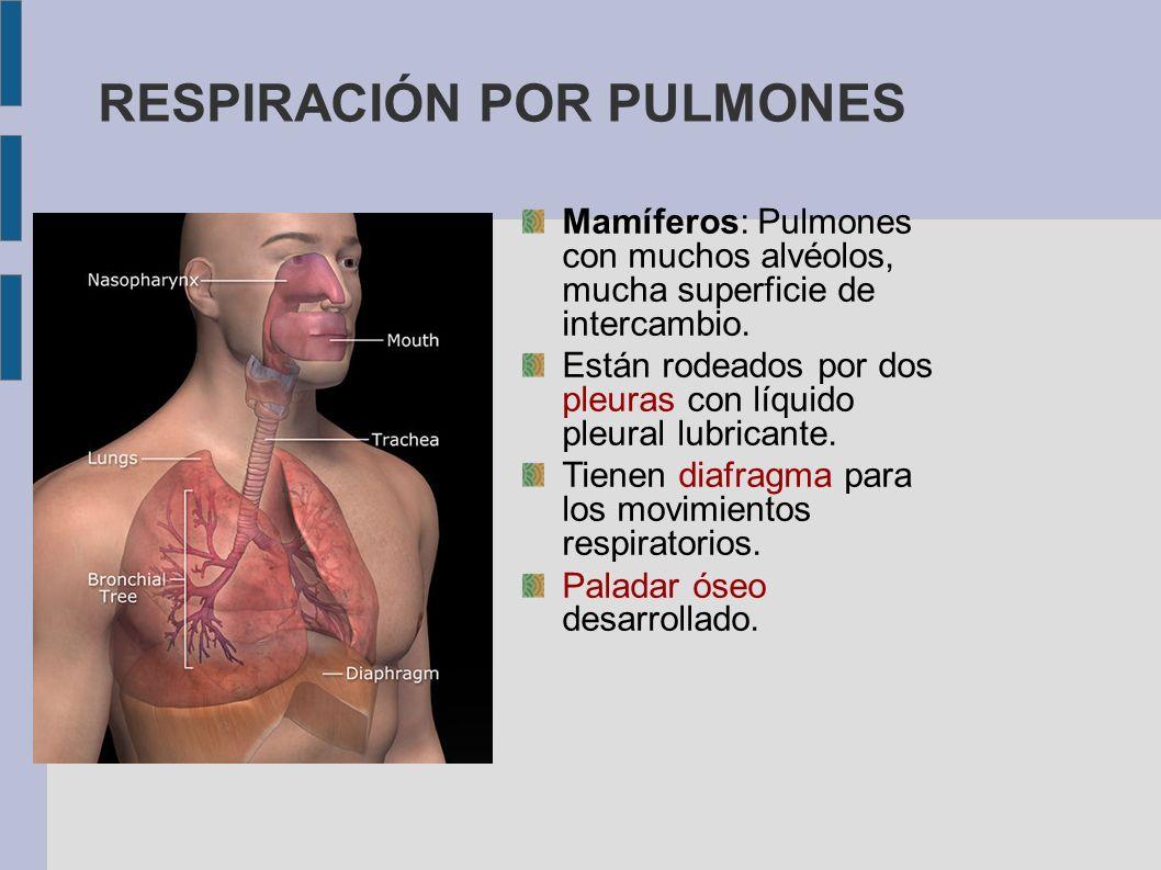 RESPIRACIÓN POR PULMONES Mamíferos: Pulmones con muchos alvéolos, mucha superficie de intercambio. Están rodeados por dos pleuras con líquido pleural
