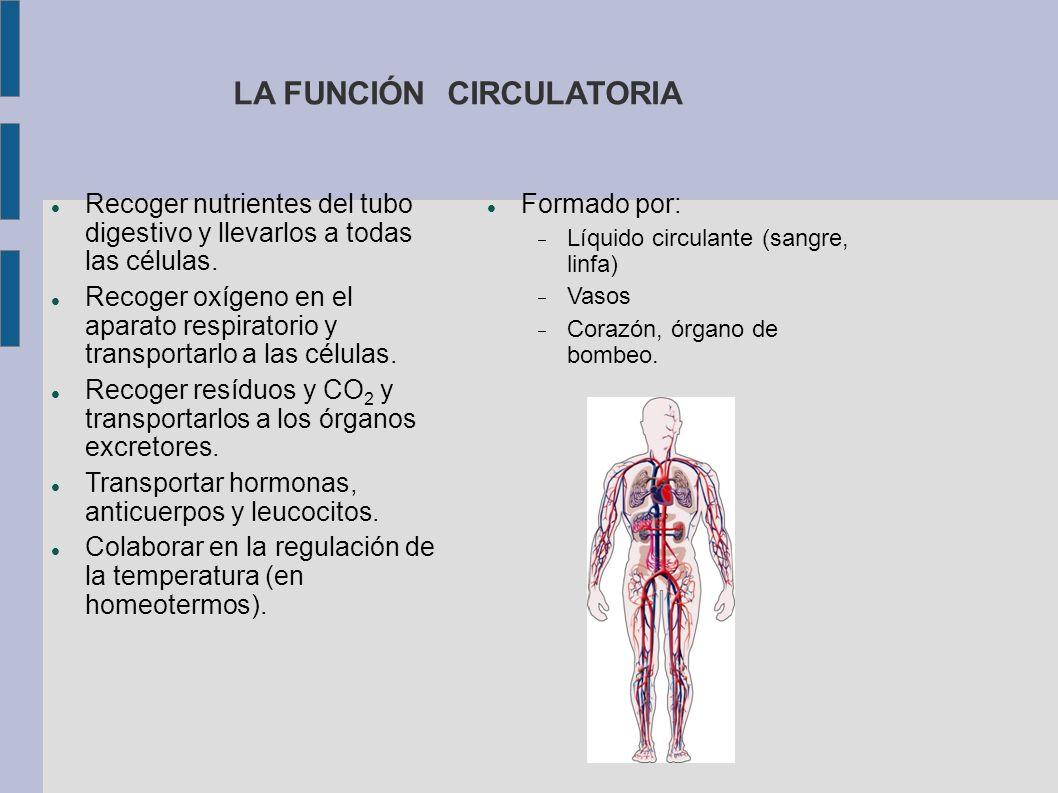 LA FUNCIÓN CIRCULATORIA Recoger nutrientes del tubo digestivo y llevarlos a todas las células. Recoger oxígeno en el aparato respiratorio y transporta