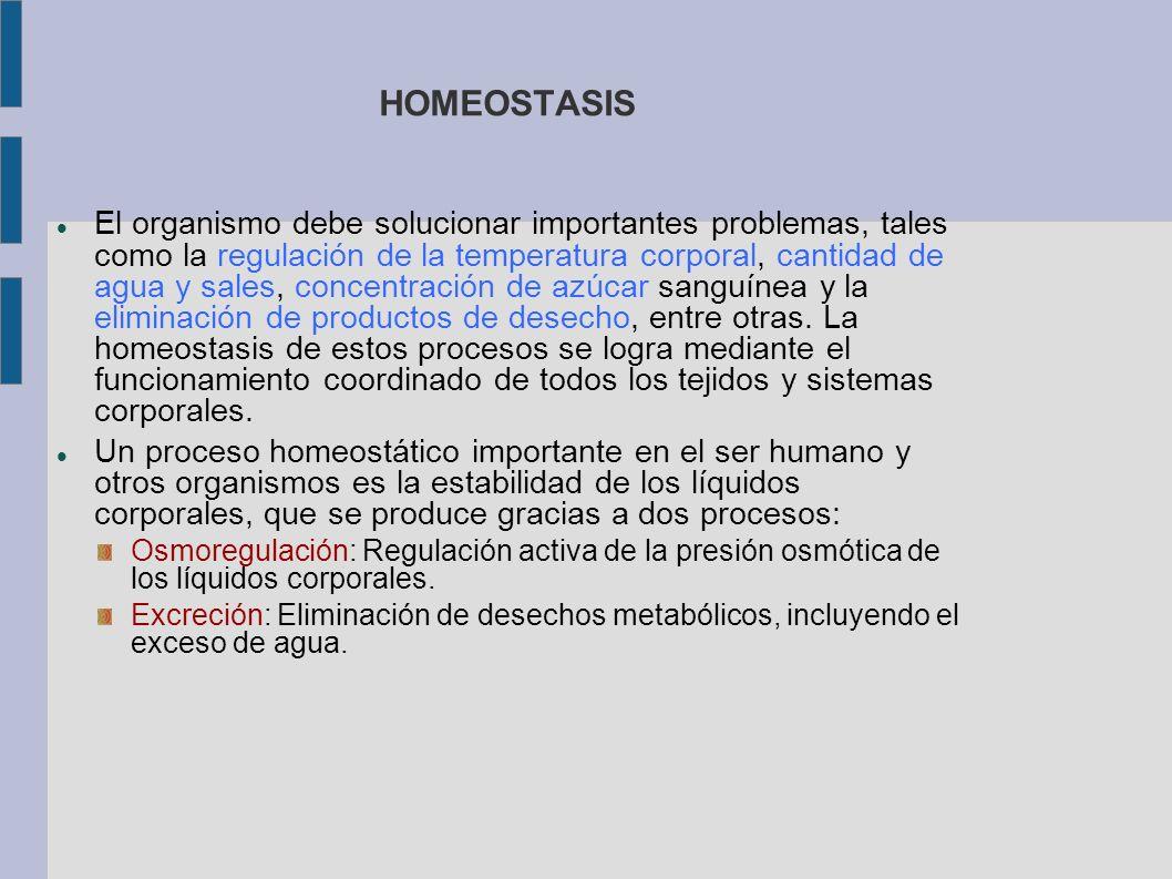 HOMEOSTASIS El organismo debe solucionar importantes problemas, tales como la regulación de la temperatura corporal, cantidad de agua y sales, concent