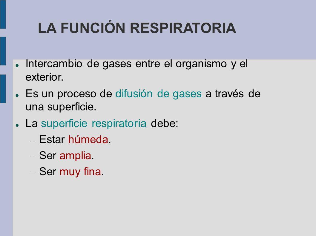 LA FUNCIÓN RESPIRATORIA Intercambio de gases entre el organismo y el exterior. Es un proceso de difusión de gases a través de una superficie. La super