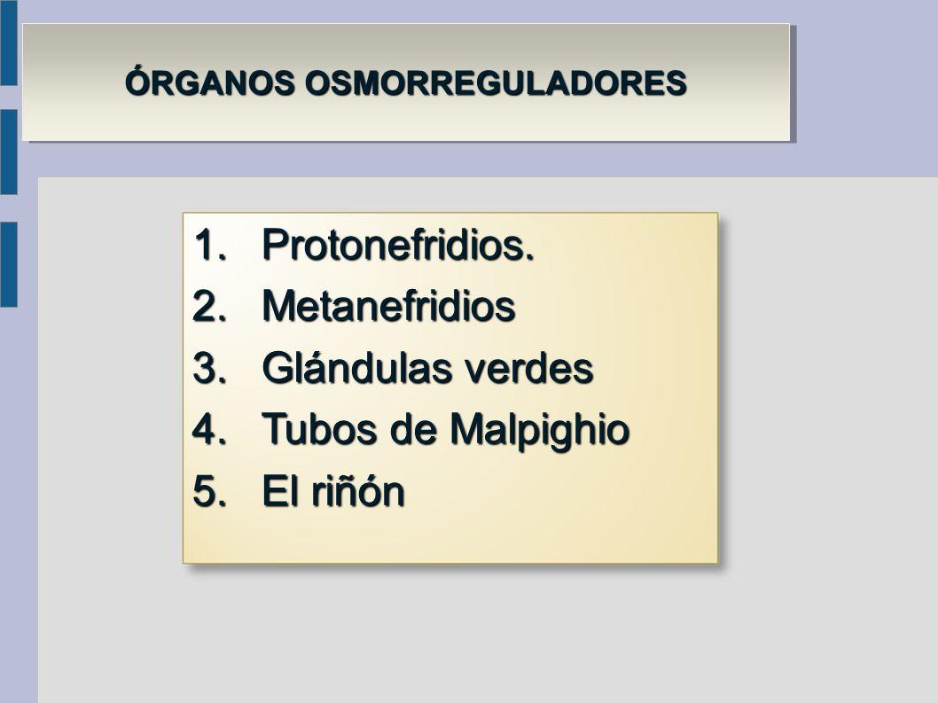 ÓRGANOS OSMORREGULADORES ÓRGANOS OSMORREGULADORES 1.Protonefridios. 2.Metanefridios 3.Glándulas verdes 4.Tubos de Malpighio 5.El riñón