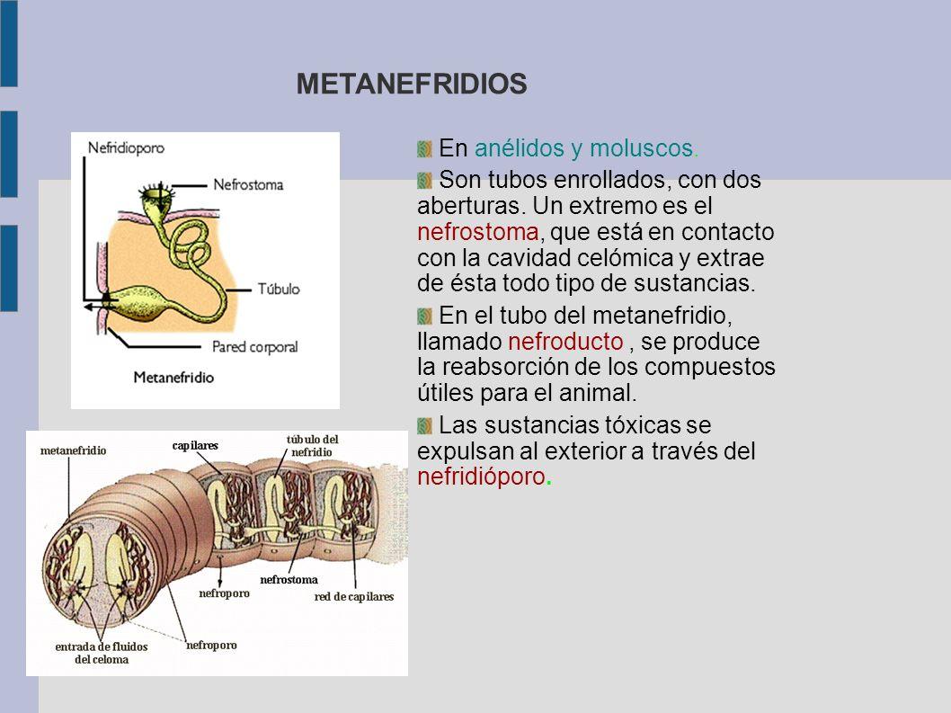 METANEFRIDIOS En anélidos y moluscos. Son tubos enrollados, con dos aberturas. Un extremo es el nefrostoma, que está en contacto con la cavidad celómi