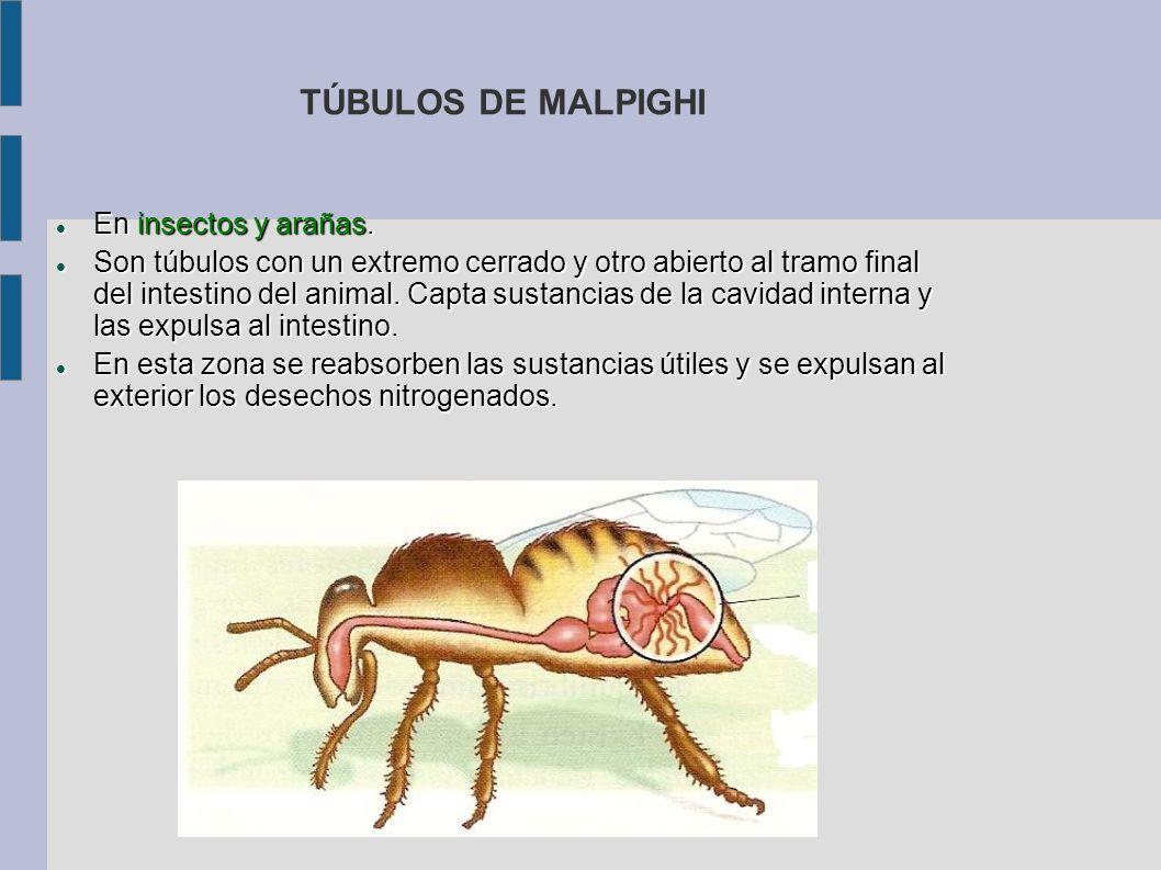 TÚBULOS DE MALPIGHI En insectos y arañas. En insectos y arañas. Son túbulos con un extremo cerrado y otro abierto al tramo final del intestino del ani