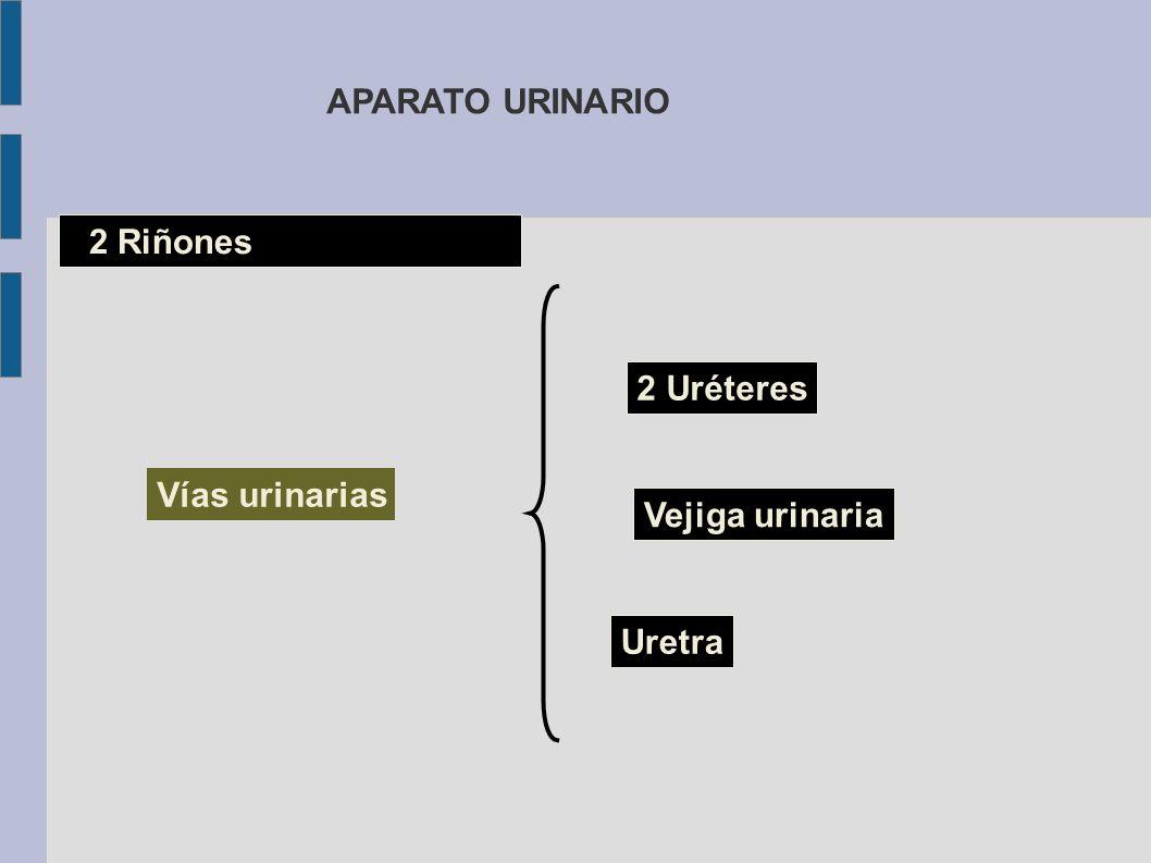 2 Riñones 2 Uréteres Vejiga urinaria Uretra Vías urinarias APARATO URINARIO