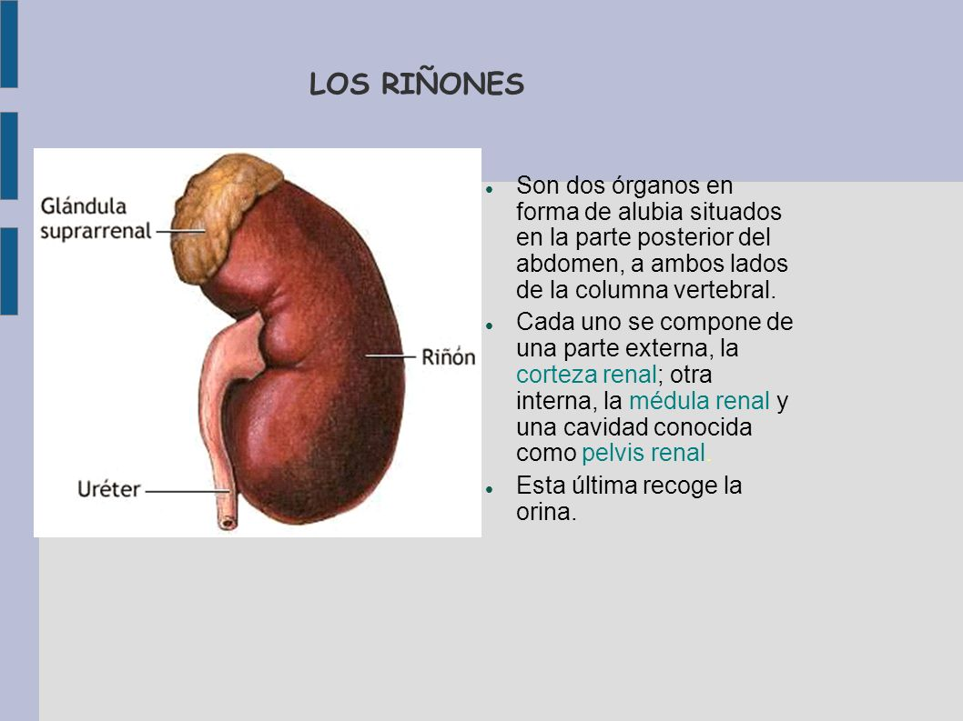 LOS RIÑONES Son dos órganos en forma de alubia situados en la parte posterior del abdomen, a ambos lados de la columna vertebral. Cada uno se compone