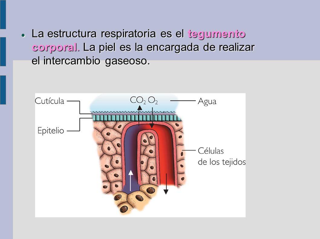 La estructura respiratoria es el tegumento corporal. La piel es la encargada de realizar el intercambio gaseoso. La estructura respiratoria es el tegu