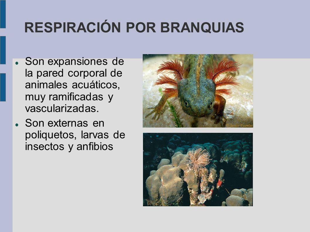 RESPIRACIÓN POR BRANQUIAS Son expansiones de la pared corporal de animales acuáticos, muy ramificadas y vascularizadas. Son externas en poliquetos, la