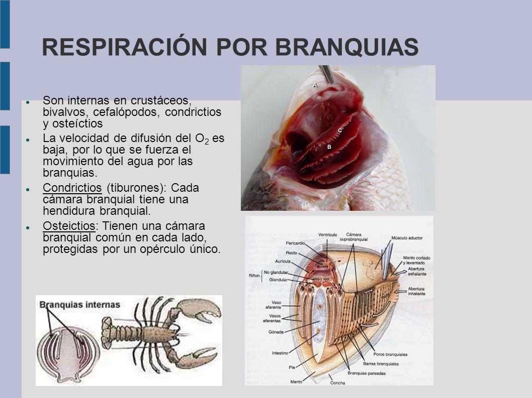 RESPIRACIÓN POR BRANQUIAS Son internas en crustáceos, bivalvos, cefalópodos, condrictios y osteíctios La velocidad de difusión del O 2 es baja, por lo