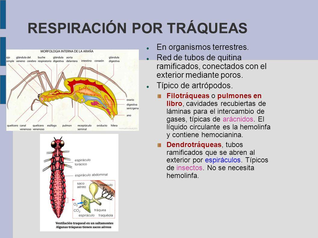 RESPIRACIÓN POR TRÁQUEAS En organismos terrestres. Red de tubos de quitina ramificados, conectados con el exterior mediante poros. Típico de artrópodo