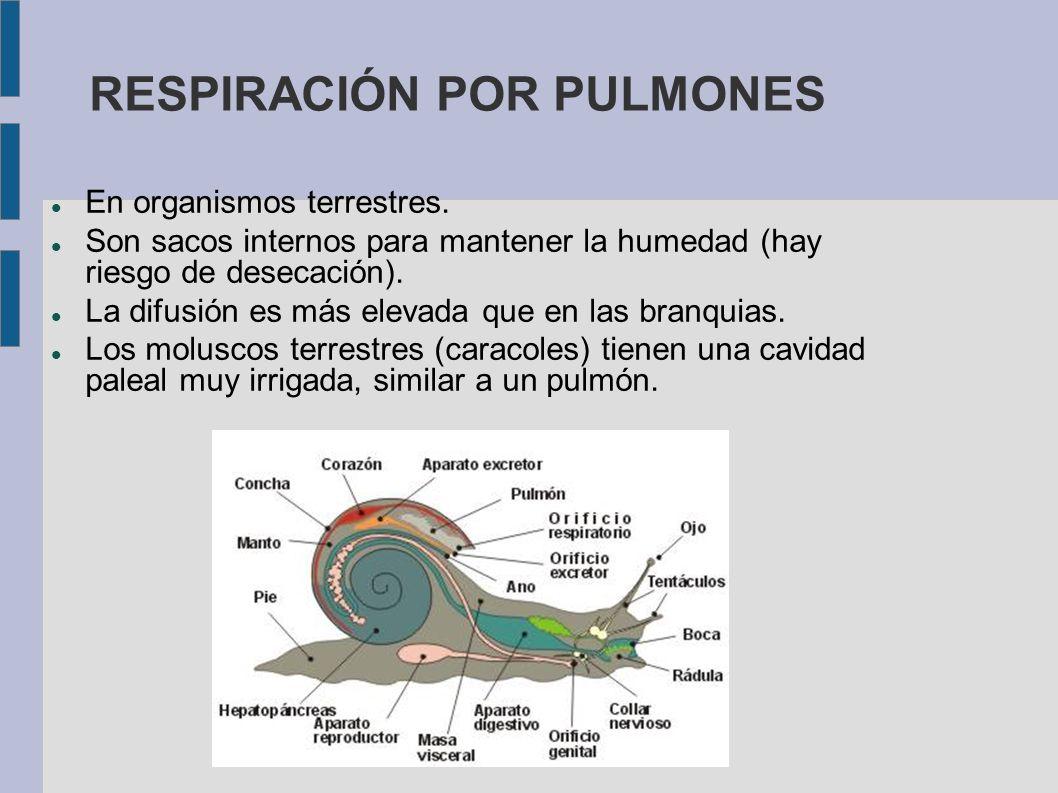 RESPIRACIÓN POR PULMONES En organismos terrestres. Son sacos internos para mantener la humedad (hay riesgo de desecación). La difusión es más elevada