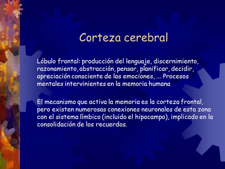 Corteza cerebral Lóbulo frontal: producción del lenguaje, discernimiento, razonamiento, abstracción, pensar, planificar, decidir, apreciación conscien