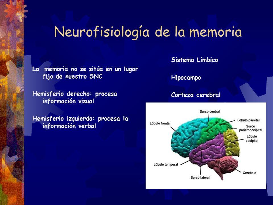 Neurofisiología de la memoria La memoria no se sitúa en un lugar fijo de nuestro SNC Hemisferio derecho: procesa información visual Hemisferio izquier