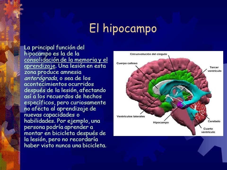 El hipocampo La principal función del hipocampo es la de la consolidación de la memoria y el aprendizaje. Una lesión en esta zona produce amnesia ante