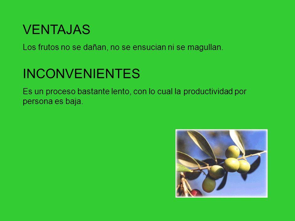 ORDEÑO Este método es el más tradicional y se emplea principalmente para recoger aceituna de mesa. Consiste en la recolección a mano de los frutos, o