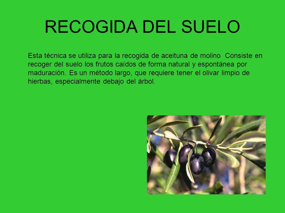 RECOGIDA DEL SUELO Esta técnica se utiliza para la recogida de aceituna de molino Consiste en recoger del suelo los frutos caídos de forma natural y espontánea por maduración.