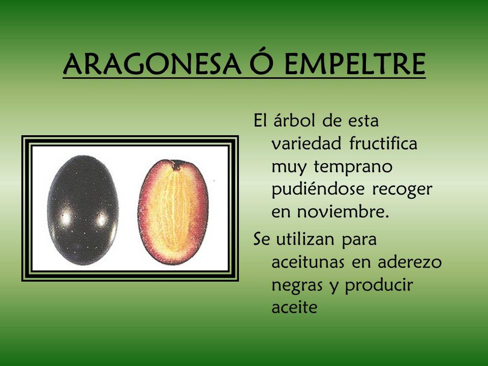 ARAGONESA Ó EMPELTRE El árbol de esta variedad fructifica muy temprano pudiéndose recoger en noviembre. Se utilizan para aceitunas en aderezo negras y