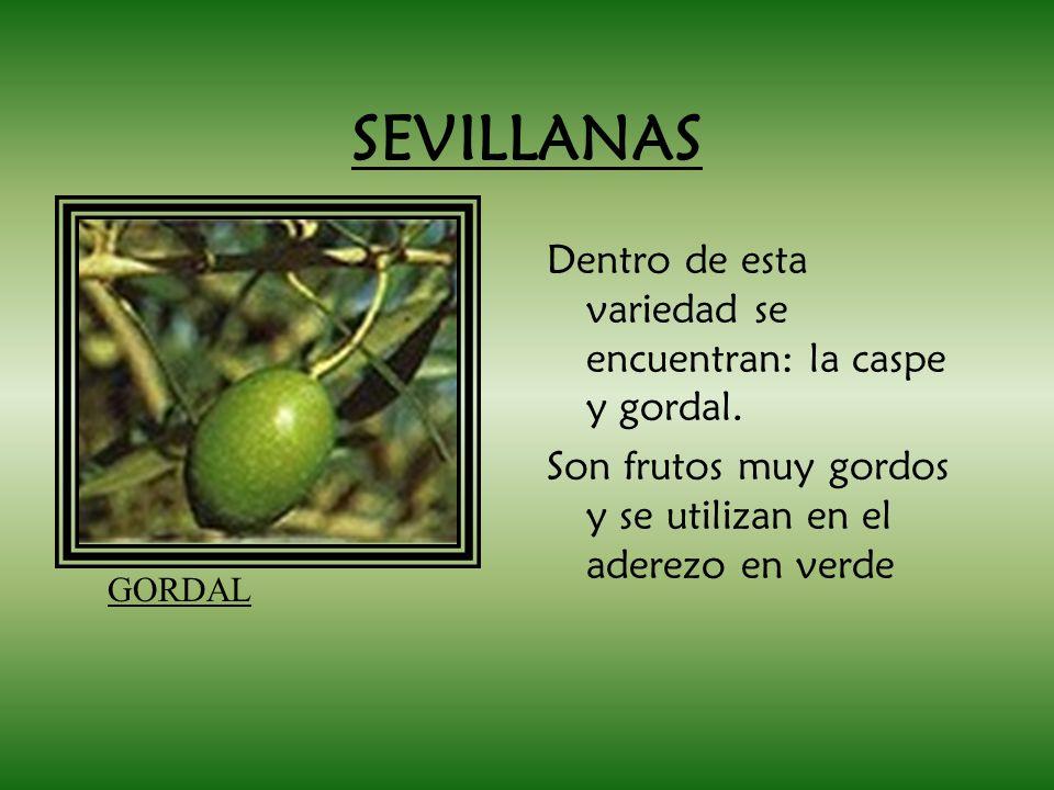 SEVILLANAS Dentro de esta variedad se encuentran: la caspe y gordal. Son frutos muy gordos y se utilizan en el aderezo en verde GORDAL