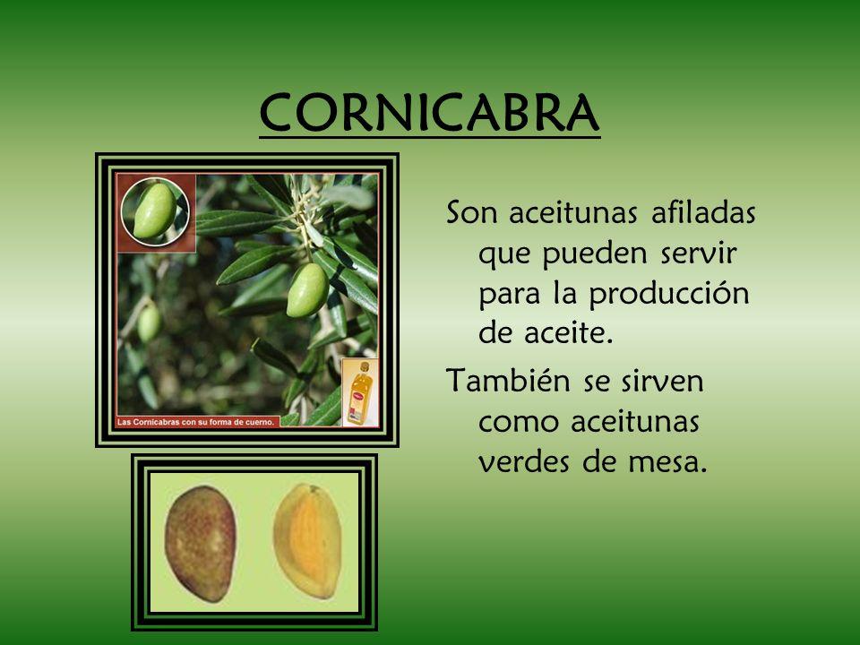 CORNICABRA Son aceitunas afiladas que pueden servir para la producción de aceite. También se sirven como aceitunas verdes de mesa.