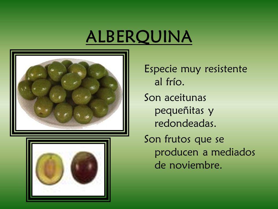 ALBERQUINA Especie muy resistente al frío. Son aceitunas pequeñitas y redondeadas. Son frutos que se producen a mediados de noviembre.