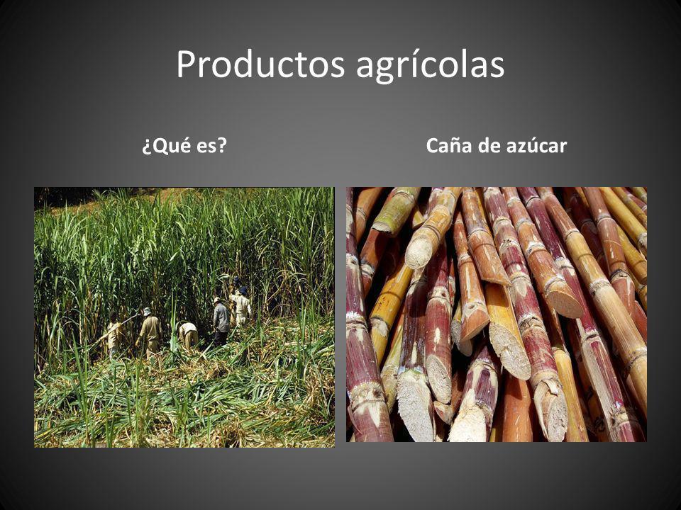 Productos agrícolas ¿Qué es?Caña de azúcar