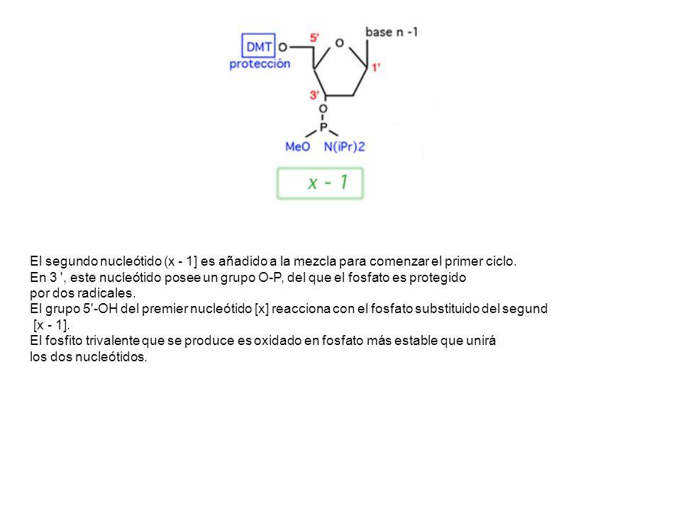 El segundo nucleótido (x - 1] es añadido a la mezcla para comenzar el primer ciclo. En 3 ', este nucleótido posee un grupo O-P, del que el fosfato es