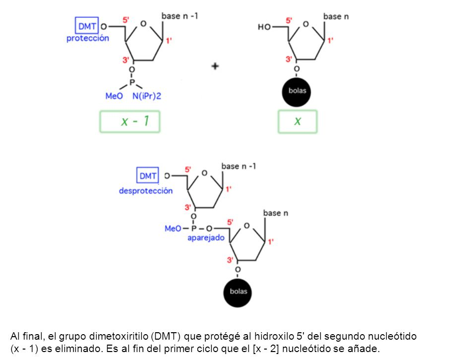 Al final, el grupo dimetoxiritilo (DMT) que protégé al hidroxilo 5' del segundo nucleótido (x - 1) es eliminado. Es al fin del primer ciclo que el [x
