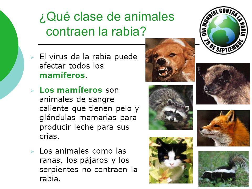 ¿Qué clase de animales contraen la rabia? El virus de la rabia puede afectar todos los mamíferos. Los mamíferos son animales de sangre caliente que ti