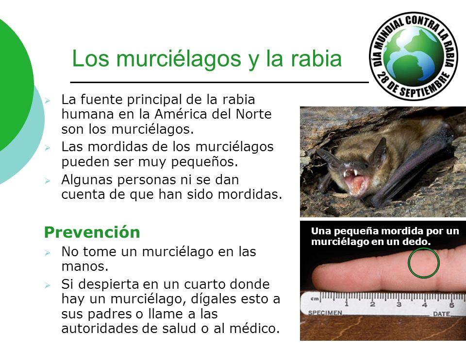 Los murciélagos y la rabia La fuente principal de la rabia humana en la América del Norte son los murciélagos. Las mordidas de los murciélagos pueden