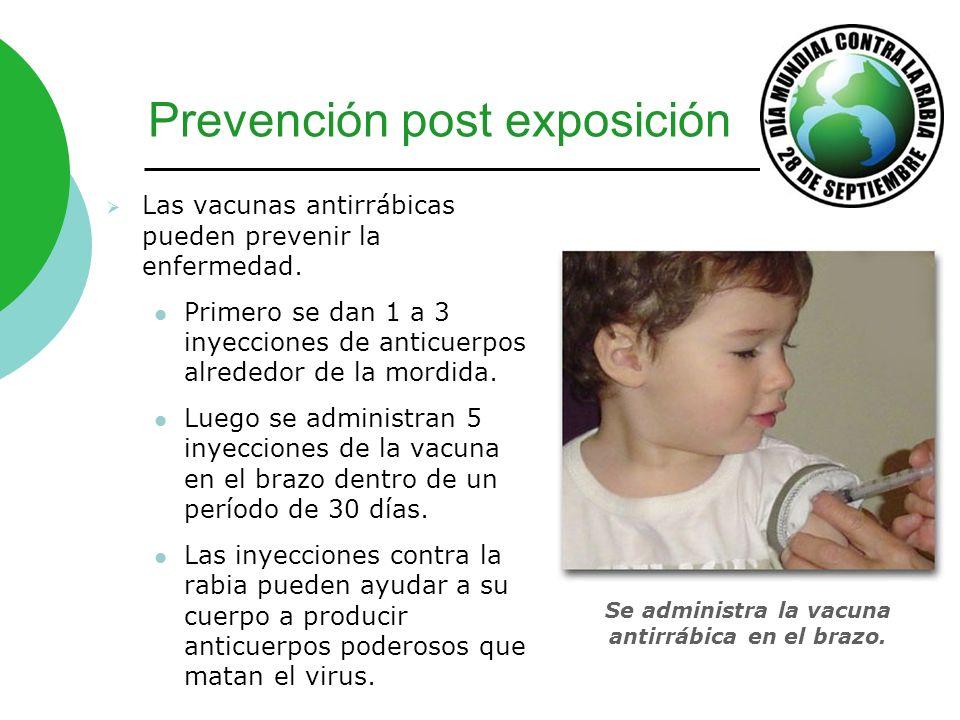 Prevención post exposición Las vacunas antirrábicas pueden prevenir la enfermedad. Primero se dan 1 a 3 inyecciones de anticuerpos alrededor de la mor