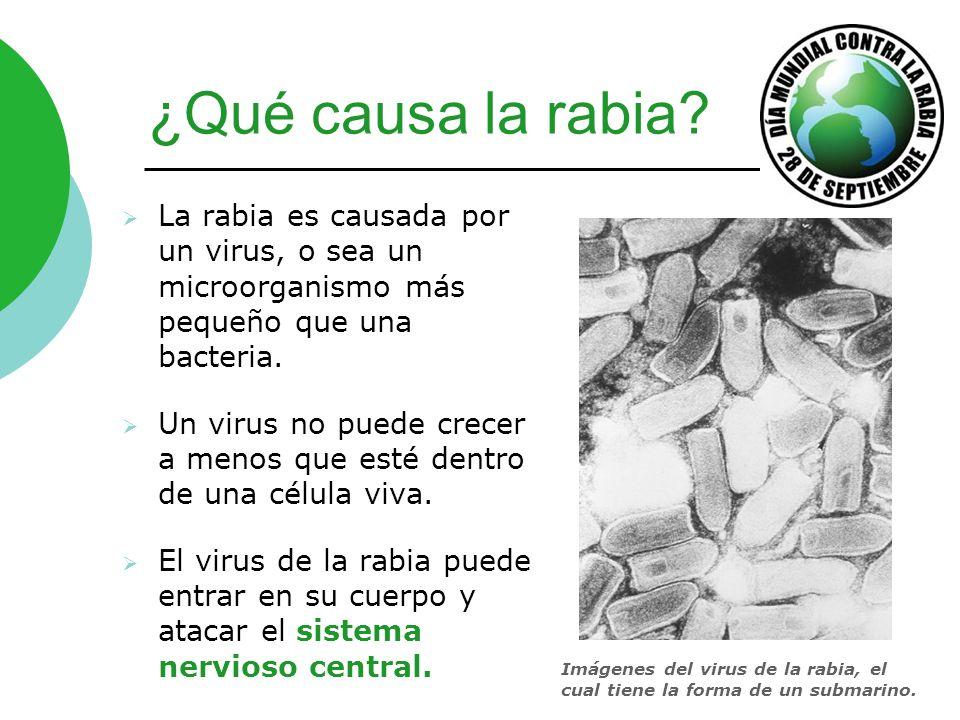 ¿Qué causa la rabia? La rabia es causada por un virus, o sea un microorganismo más pequeño que una bacteria. Un virus no puede crecer a menos que esté