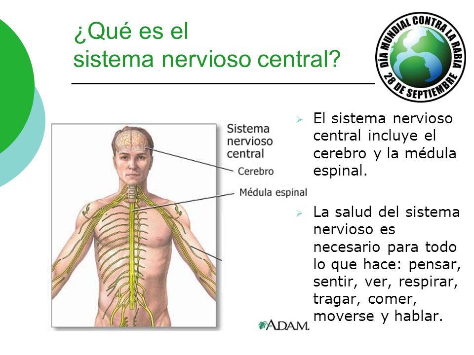 La rabia ataca el sistema nervioso central Ver cómo el virus de la rabia se propaga del sitio de la exposición en la pierna por arriba, vía la médula espinal al cerebro y después circulándose por el resto del cuerpo.