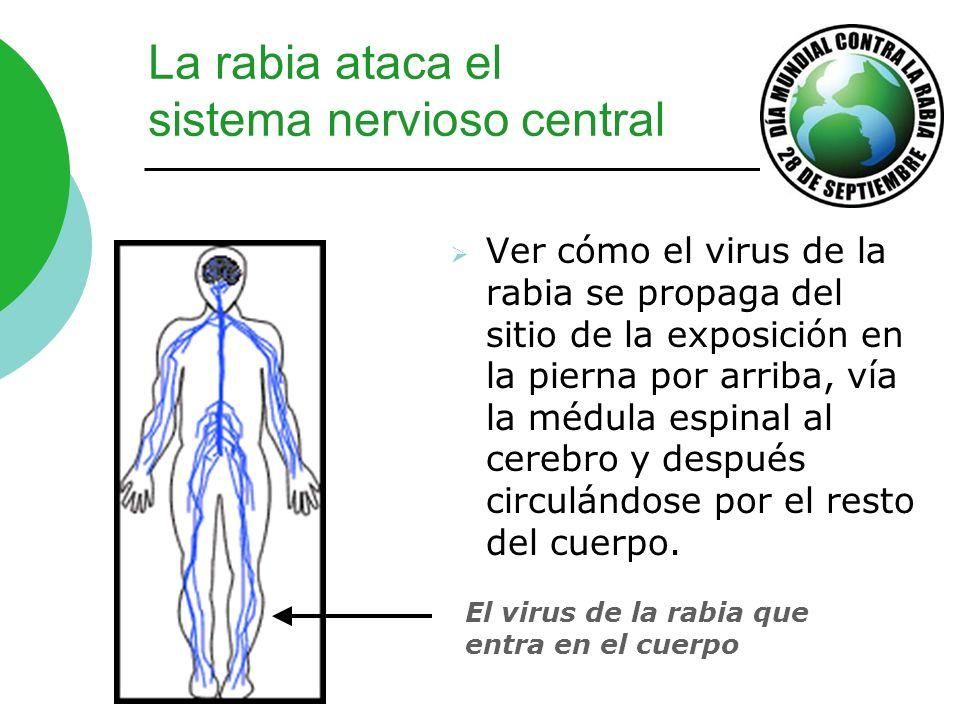 La rabia ataca el sistema nervioso central Ver cómo el virus de la rabia se propaga del sitio de la exposición en la pierna por arriba, vía la médula