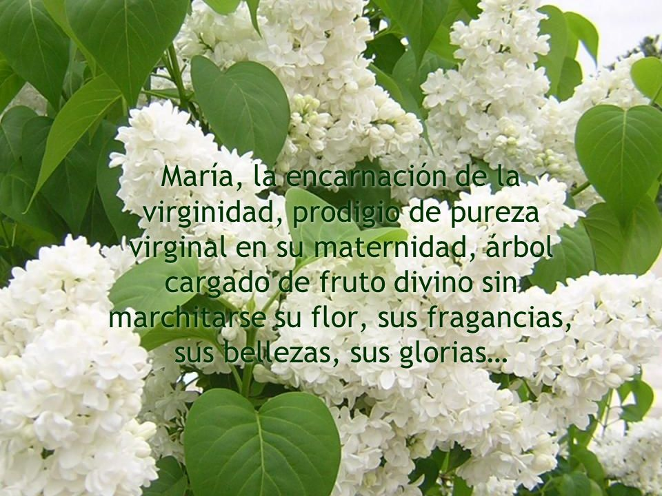 María, la encarnación de la virginidad, prodigio de pureza virginal en su maternidad, árbol cargado de fruto divino sin marchitarse su flor, sus fraga