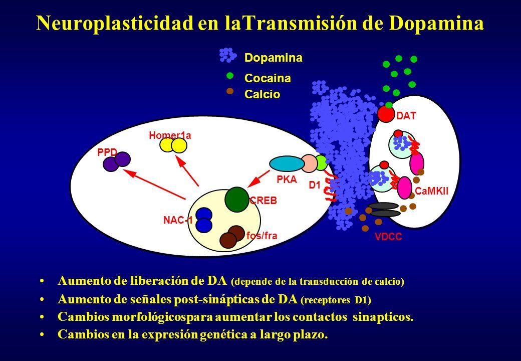 Neuroplasticidad en laTransmisión de Dopamina Aumento de liberación de DA (depende de la transducción de calcio) Aumento de señales post-sinápticas de