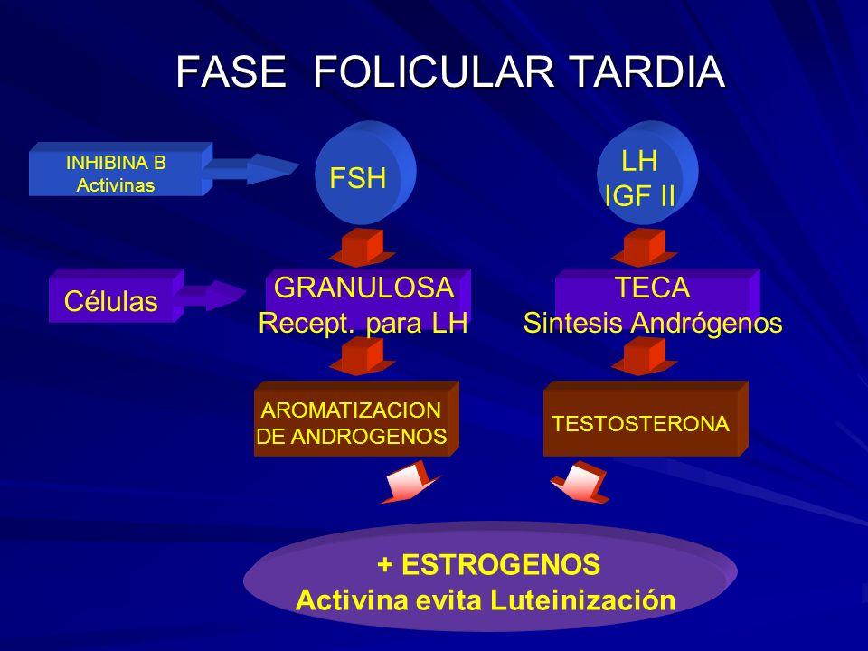FASE FOLICULAR TARDIA TESTOSTERONA AROMATIZACION DE ANDROGENOS + ESTROGENOS Activina evita Luteinización TECA Sintesis Andrógenos GRANULOSA Recept.