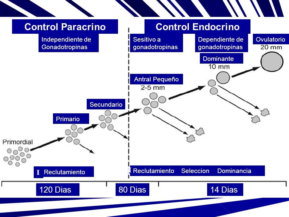 Reclutamiento II SeleccionDominancia Reclutamiento I Independiente de Gonadotropinas Sesitivo a gonadotropinas Ovulatorio Primario Secundario Antral P