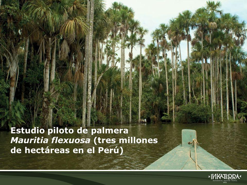 Estudio piloto de palmera Mauritia flexuosa (tres millones de hectáreas en el Perú)
