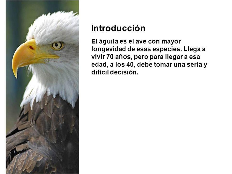 Introducción El águila es el ave con mayor longevidad de esas especies. Llega a vivir 70 años, pero para llegar a esa edad, a los 40, debe tomar una s