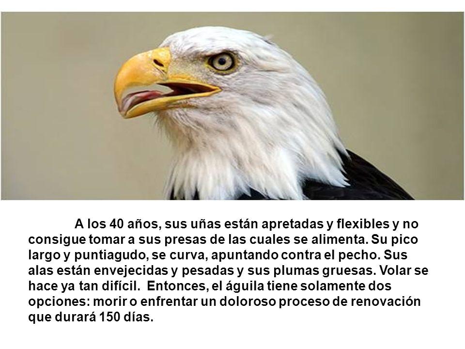 Ese proceso consiste en volar hacia lo alto de una montaña y quedarse ahí, en un nido cercano a un paredón, en donde no tenga la necesidad de volar.